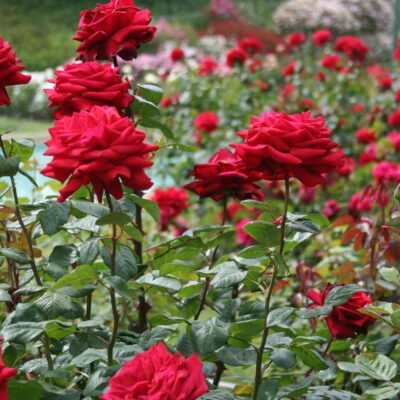 Rose Garden is the most beautiful travel place in Chandigarh